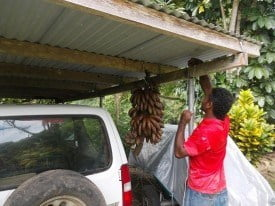 Johnny our landscaper over delivered. This is next week's dessert. He cut down the red bananas and hung them for us. A Fijian treat!
