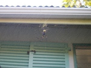 Catch interview requests with your web. Like this 5 inch-wide spider in the backyard, in Savusavu, Fiji.