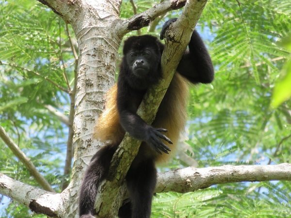 You *can* make terrible blogging mistakes and still count Howler monkeys as your neighbors. This guy chilled in the jungle canopy above our lodge in Mombacho, Nicaragua.
