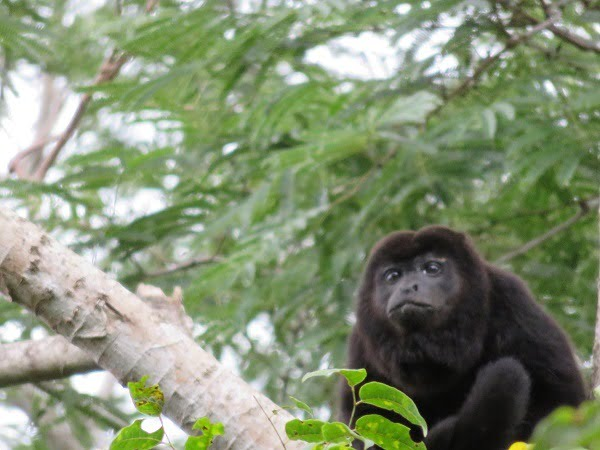Pensive Howler monkey, wondering why I was so freaking stupid to make these mistakes.