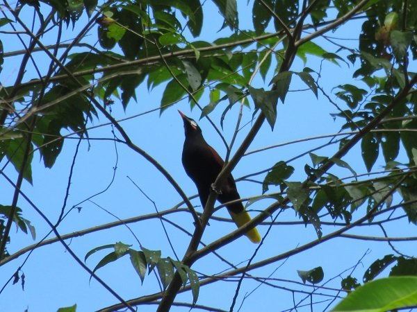 Do you think this oropendola would fight a drooling vagrant? Kelli captured this shot on the property, where like, everything lives.