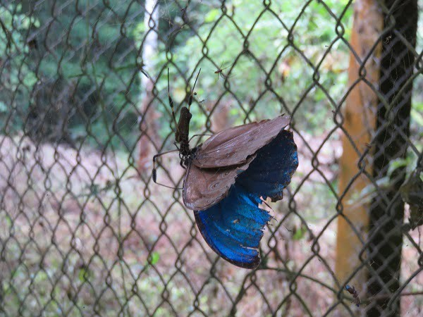 Animal #21. Blue morpho butterfly. ELECTRIC blue shade, floating on the breeze. But this guy was lunch for a golden orb spider. Oh well....
