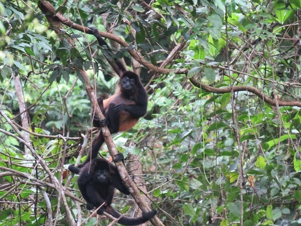 Howdy Howler neighbors! Don't look at us so funny. It's awkward for all primates involved.